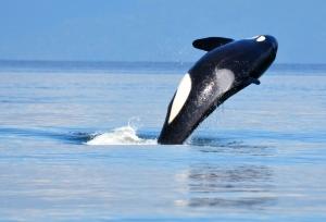 Orca near Vancouver, BC