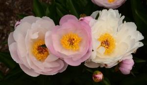Matthaei peonies pink between whites
