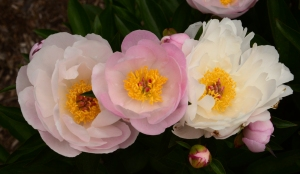 Matthaei peonies pink between whites