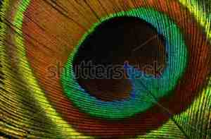 Peacock feather Shutterstock