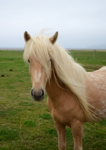 Iceland 8 horse blond head